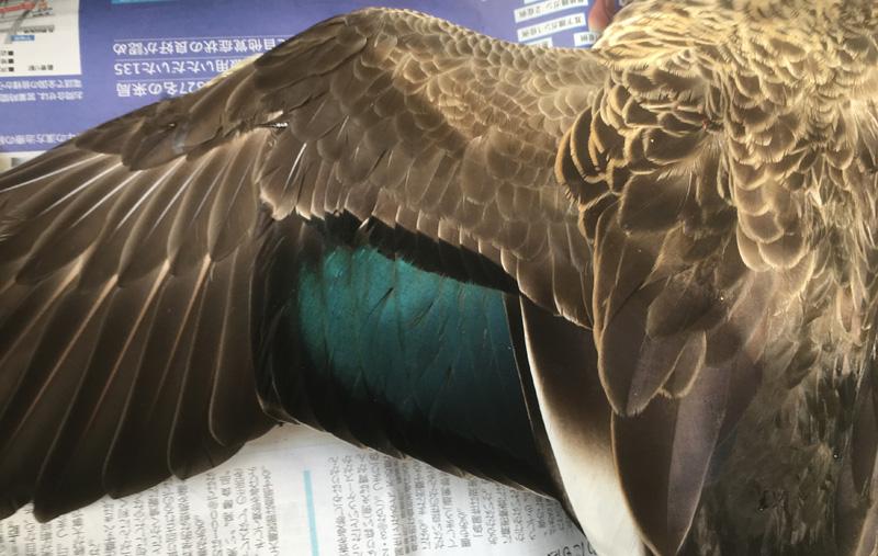 カルガモの翼鏡