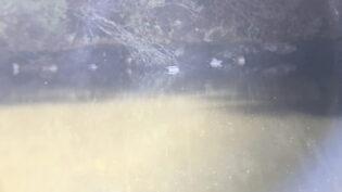 マガモとホシハジロの群れ