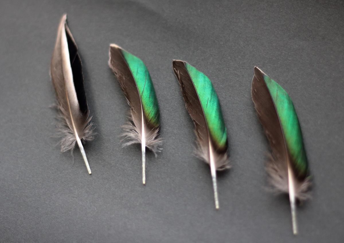 コガモの翼鏡