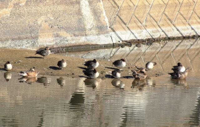 猟場で見かけたコガモの群れ