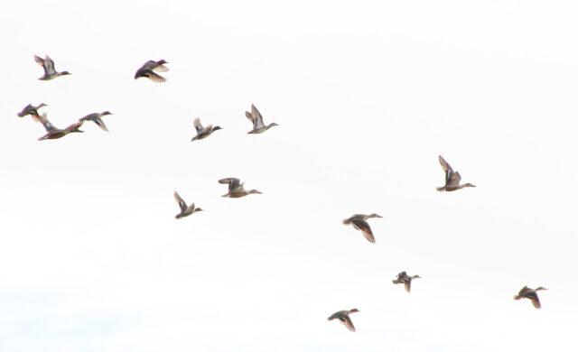 飛翔したコガモの群れ