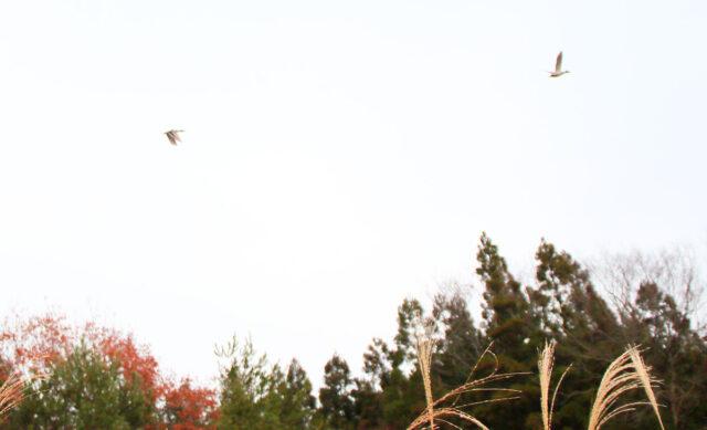 飛び立ったマガモ