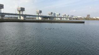 淀川に居たヒドリガモをiPhone SEで撮影